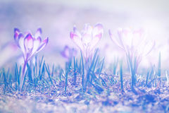 Vintage blooming violet crocuses Stock Images