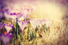 Vintage blooming violet crocuses Stock Image