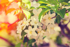 Vintage blossoming orchard Royalty Free Stock Images