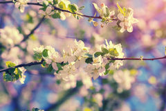 Vintage blossoming orchard Stock Images