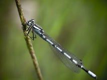 Vintage blue damsel fly on grass stalk Stock Photography