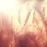Vintage blurry barley background Royalty Free Stock Photos