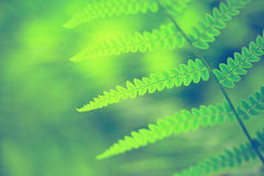 Vintage blurry fern. Vintage filter effect used. Closeup of spring blurry fern Royalty Free Stock Images