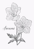 Vintage botanical illustration blossom flower. Anemone. Vintage botanical high detailed illustration wild flower. Engraving style. Hand drawn artwork. Vector Stock Photo