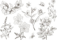 Vintage botanical illustration blossom flowers set. Vintage botanical detailed illustration wild flowers set. Engraving style. Hand drawing illustration. Vector Royalty Free Stock Photo