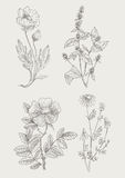 Vintage botanical illustration flowers set. Vintage botanical detailed illustration wild flowers set Stock Images