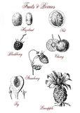 Vintage botanical table, fruits and berries. Fruits and berries illustration table: fig, pineapple, nut and hazelnut, cherry, blackberry, strawberry, vintage Royalty Free Stock Photo