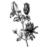 Vintage botany. Vintage etching vector illustration of a bouquet of flowers Royalty Free Stock Photos