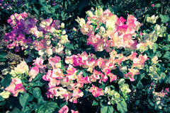 Vintage Bougainvillea flowers royalty free stock photography