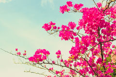 Vintage Bougainvilleas Royalty Free Stock Images