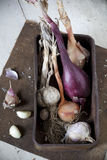 Vintage box with freshly harvested garlic and onions Royalty Free Stock Photography
