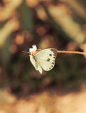Vintage butterfly. Antique style photo of butterfly Stock Images