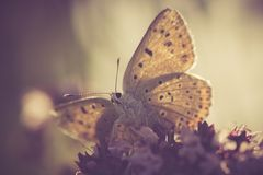Vintage butterfly Royalty Free Stock Photo
