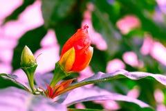 Vintage Caesalpinia pulcherrima red guppy flower pastel color. Vintage Caesalpinia pulcherrima red guppy flowerr pastel color to Creative pattern and texture stock images