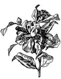 Camelia. Vintage camelia flower. Hand drawn engraving illustration Royalty Free Stock Photos