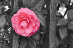 Vintage camellia. Camellia growing through fence royalty free stock photos