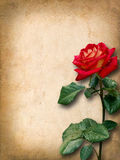 Vintage card for congratulations with red rose Royalty Free Stock Photos