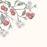 Vintage cherry background Stock Image