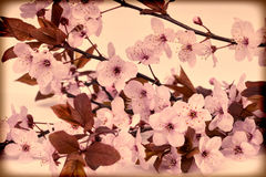 Vintage cherry blossom Royalty Free Stock Photography