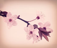 Vintage cherry blossom Stock Photography