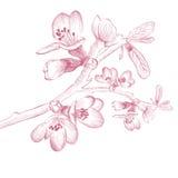 Vintage Cherry Blossom Flower. Vintage Spring Cherry Blossom Flower Over White Background royalty free illustration