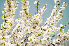 Vintage cherry blossom Stock Images
