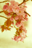 Vintage Cherry Blossoms in Spring Time Stock Photo