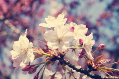 Vintage cherry blossoms Royalty Free Stock Photo