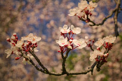 Vintage cherry tree flowers Stock Photography