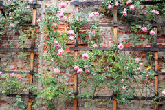 Vintage  climbing roses on a trellis. Vintage climbing roses on a wood trellis on a brick wall Royalty Free Stock Photography