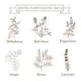 Vintage collection of hand drawn medical herbs and plants, belladonna, red clover, peppermint, grape, senna, lavender. Botanical vector illustration royalty free illustration