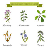 Vintage collection of hand drawn medical herbs and plants, centaury, white nettle, avocado, laminaria, chicory, yarrow. Royalty Free Stock Images