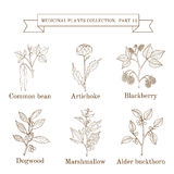 Vintage collection of hand drawn medical herbs and plants, common bean, artichoke, blackberry, dogwood, marshmallow Stock Photo