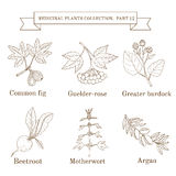 Vintage collection of hand drawn medical herbs and plants, common fig, guelder-rose, greater burdock, beetroot. Motherwort, argan. Botanical vector Royalty Free Stock Images