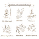 Vintage collection of hand drawn medical herbs and plants, field horsetail, mulberry, cannabis, siberian pea-tree. Gooseberry, siberian ginseng. Botanical Royalty Free Stock Photo