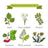 Vintage collection of hand drawn medical herbs and plants, hazel, poet s daffodil, oregano, hawthorn, white mustard. Dandelion. Botanical vector illustration Stock Photo