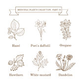 Vintage collection of hand drawn medical herbs and plants, hazel, poet s daffodil, oregano, hawthorn, white mustard. Dandelion. Botanical vector illustration Royalty Free Stock Photography
