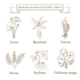Vintage collection of hand drawn medical herbs and plants, lotus, mandrake, vetiver, sumac, soybean, calofornia poppy. Botanical vector illustration Stock Images