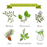 Vintage collection of hand drawn medical herbs and plants, mistletoe, witch-hazel, henna, pine, greater plantain, fennel Royalty Free Stock Photography