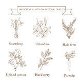 Vintage collection of hand drawn medical herbs and plants, snowdrop, celandine, male fern, cotton, hackberry, parsnip. Stock Image