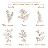Vintage collection of hand drawn medical herbs and plants, wild rosemary, tansy, fireweed, peanut, white cedar, jimson Stock Photo