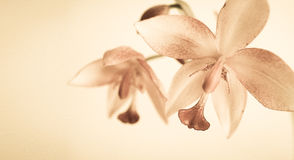 Vintage color orchids in soft color and blur style Royalty Free Stock Images