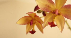 Vintage color orchids in soft color and blur style Royalty Free Stock Image