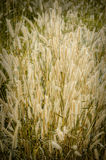 Vintage color style of grass flower stock images