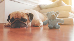 Vintage color style of The Pug dog sleep with dolls. Vintage color style of The Pug dog sleep with their dolls Royalty Free Stock Images