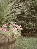 Vintage color wash of grass & petunias in wine barrel. Container gardening in NYS using vintage wine barrel half filled with ornamental grass and pink petunia royalty free stock photography