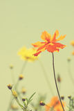Vintage colorful cosmos flower image Stock Images