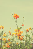 Vintage colorful cosmos flower image Stock Image