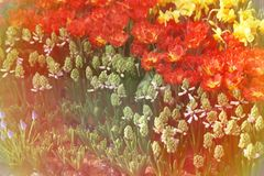 Vintage Colorful Tulips Bloom Summer Royalty Free Stock Photography