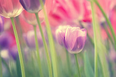 Vintage colorful tulips Stock Image